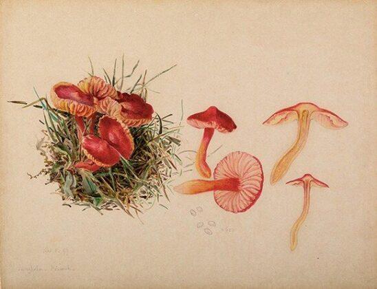 Beatrix Potter: a Hygrocybe coccinea, 1897.