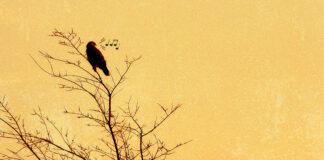 madár zene